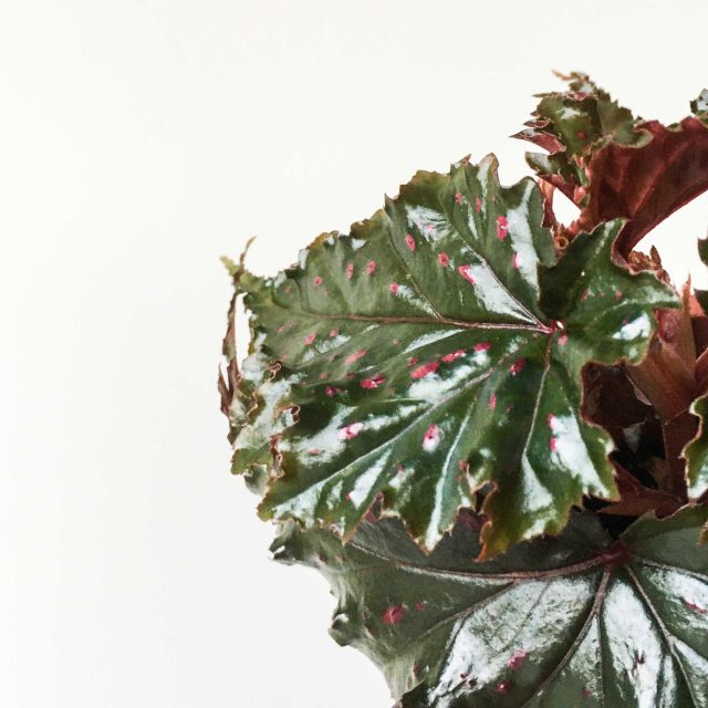 Begonia 1 van 1